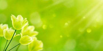 weiße tulpen in der frühlingssonne von Dörte Stiller