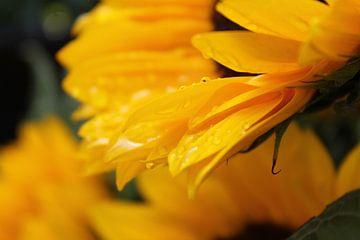 Zonnebloem na de regen van Tessa Van den Hoek