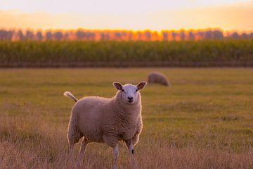 mouton curieux sur Tania Perneel