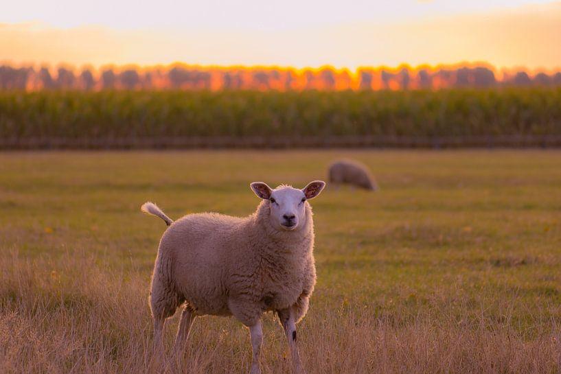 neugierige Schafe von Tania Perneel