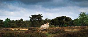 Het schaap en zijn lam in het Groote Zand