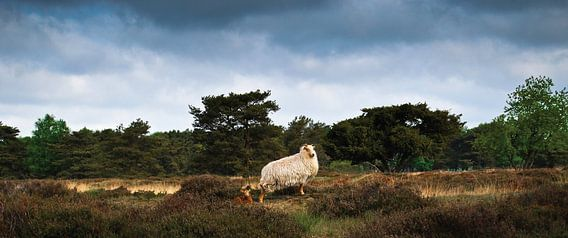 Het schaap en zijn lam in het Groote Zand van Ricardo Bouman | Fotografie