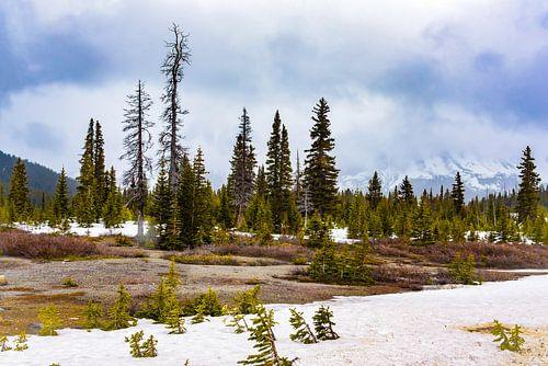 Dennen in de sneeuw langs de Icefields Parkway, Canada
