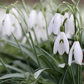 Sneeuwklokjes luiden voorjaar in van Klaas Hollebeek