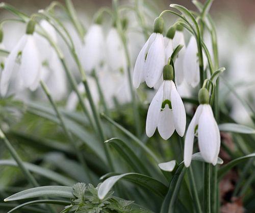 Sneeuwklokjes luiden voorjaar in van