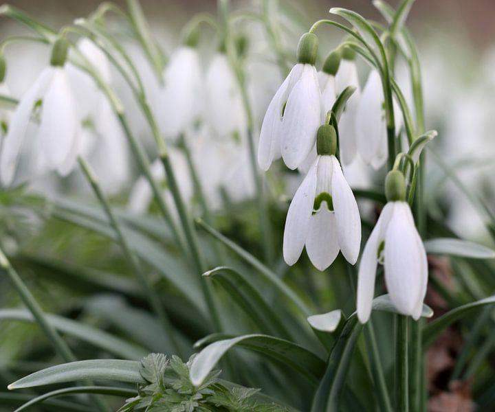 Sneeuwklokjes luiden voorjaar in