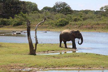 Asian Elephant trinken in der Natur in Sri Lanka von Ruud Wijnands
