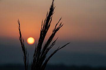 Die Sonne verschwindet zwischen den Rispen von Petra van Teeffelen