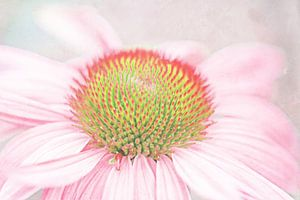 Echinacea pastell zart