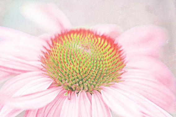 Echinacea pastell zart van Rosi Lorz