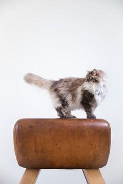 Norwegische Waldkatze Maincoon Noes von Janine Bekker Photography