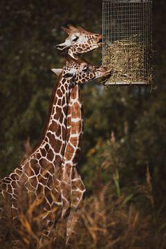 Twee giraffen eten hooi van Suzanne Schoepe