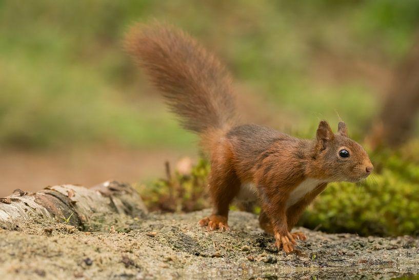 Eichhörnchen im Wald von Ingrid Ronde