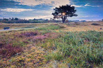 flowering heather in the dunes sur eric van der eijk