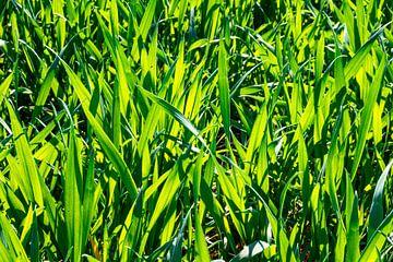 Junge Getreidepflanzen auf dem Weizenfeld von Gerwin Schadl