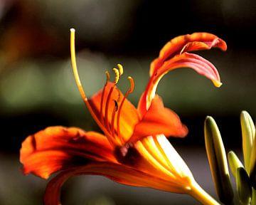 Macro opname van een mooie bloem op een lentedag 01 van Cor Heijnen