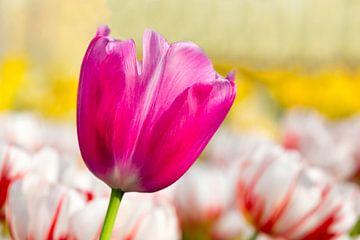 Eine lila rosa Tulpe für ein Blumenfeld mit Tulpen von Ben Schonewille