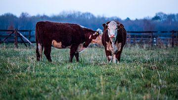Twee bruine koeien op landgoed Scholtenszathe in Drenthe van Dennis Hooiveld