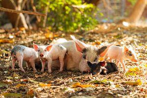 Biggetjes met moeder varken