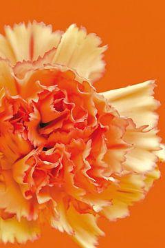 Foto van een oranje anjer. van Therese Brals