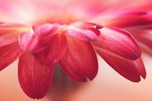 Gerbera bloemblaadjes