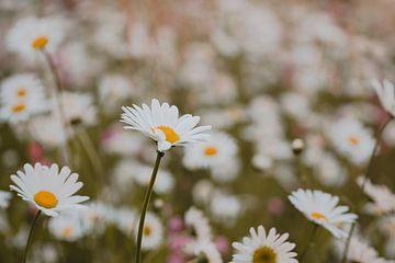 Ein Blumenfeld mit Gänseblümchen von Robin van Steen