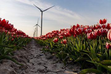 Rote und weiße Tulpen in einem Polder voller Windmühlen von Studio de Waay