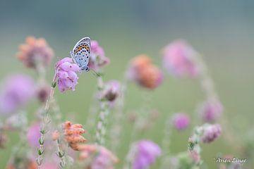 Heideblauwtje bij het eerste licht van Arien Linge