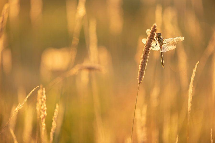 Een Heidelibel aan het opwarmen