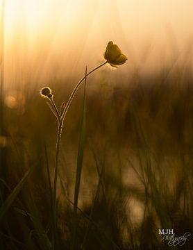 Boterbloem in de zon van Marianne Henstra