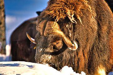 Le bœuf musqué dans la neige sur Kai Müller