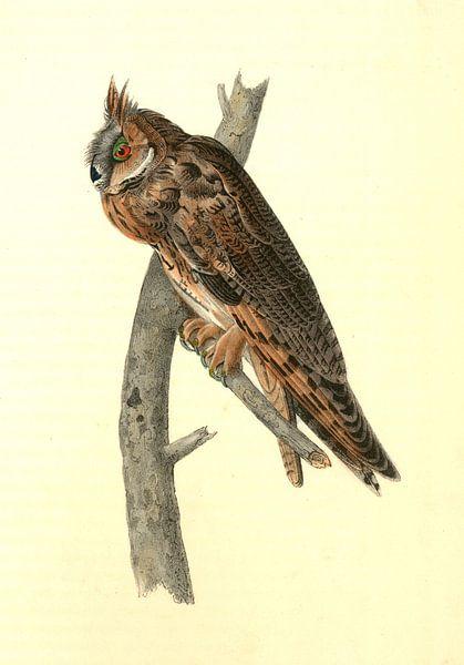 Uil, Long-eared Owl., Audubon, John James, 1785-1851 van Liszt Collection