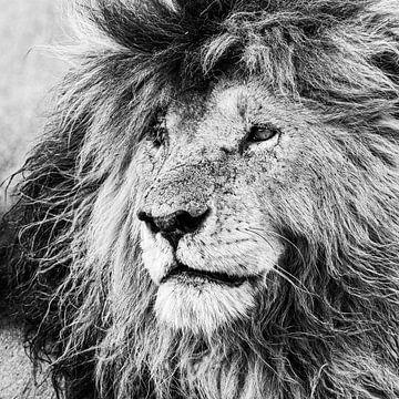 Der König der Masai Mara: Narbe von Sharing Wildlife