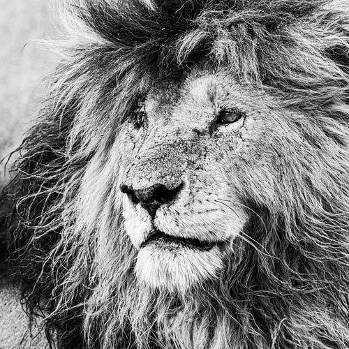 Der König der Masai Mara: Narbe