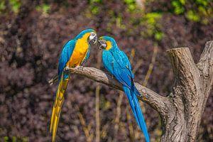 zwei Papageien auf einem Ast