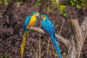 zwei Papageien auf einem Ast von Fred Leeflang