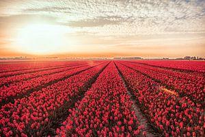 Tulpenvel van
