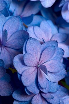 Blauw roze Hortensia van