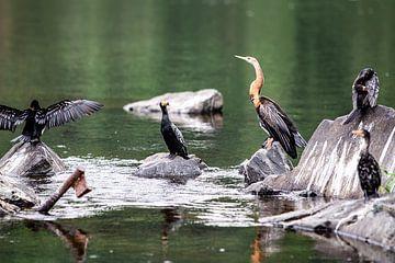 oiseaux sur les rochers du Nil en Ouganda sur Eric van Nieuwland