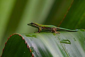Mauritius-Tag-Gecko
