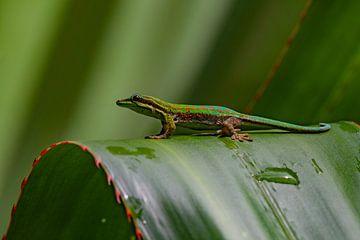 Mauritius-Tag-Gecko von Lex van Doorn