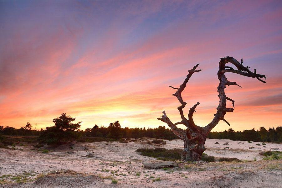 Oude boom in het Aekingerzand van John Leeninga