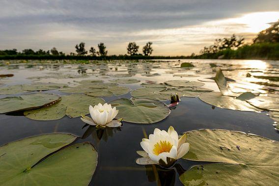 Waterlelies tijdens zonsondergang