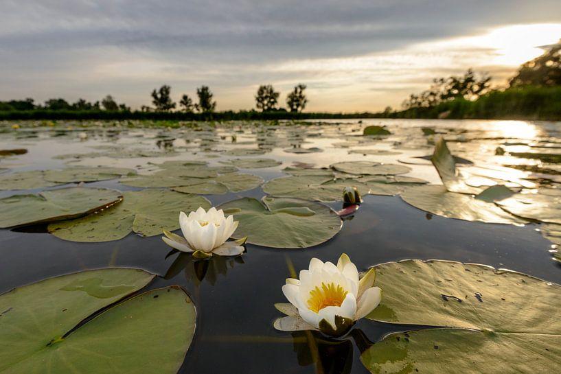 Waterlelies tijdens zonsondergang van Sjoerd van der Wal