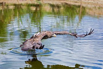 european sea eagle van gea strucks