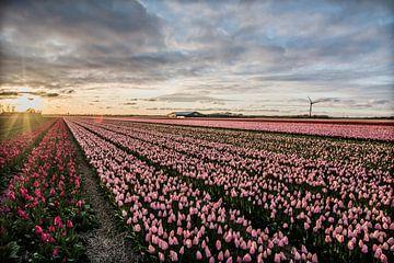 ondergaande zon boven de tulpenvelden 01 van Arjen Schippers