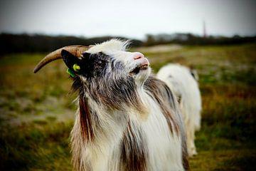 Gehörnte Ziege mit Ziegenbart auf Schiermonnikoog von Foto Graaf Eric