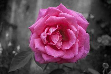 Pink rose sur