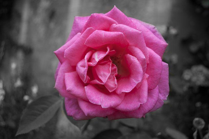 Roze roos van Roy Kosmeijer