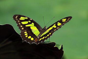Malachietvlinder - Siproeta stelenes von Ronald Smits